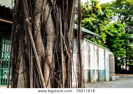The Trunk Of The Banyan