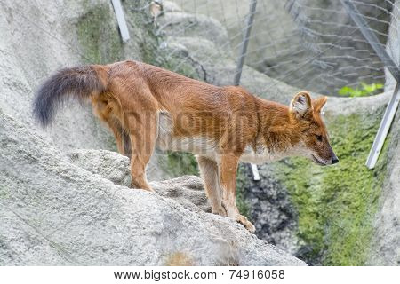 Dhole (cuon Alpinus)