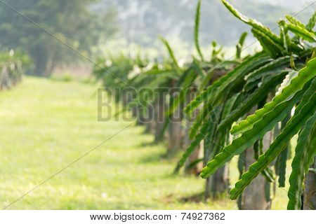 A Field With Fruit Bushes Hylocereus