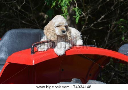 farm dog - cocker spaniel puppy laying on fender of a tractor