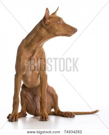 pharaoh hound portrait looking to the side on white background