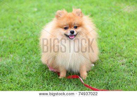 Cute Pet, Pomeranian Grooming Dog Sitting On Green Grass At Home Garden