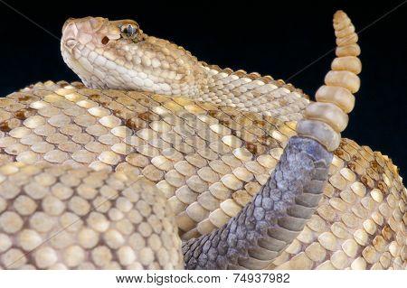 Aruba rattlesnake / Crotalus unicolor
