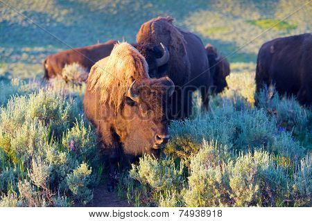 Buffalo Grazing In Meadow