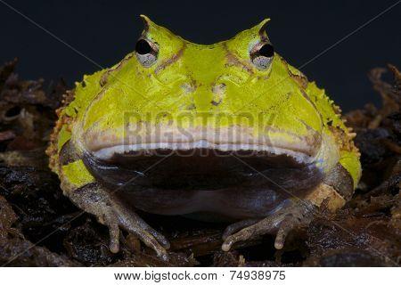 Horned frog / Ceratophrys cornuta