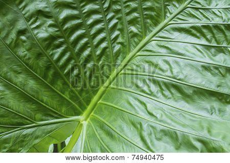 Texture Big Green Tropical Leaf