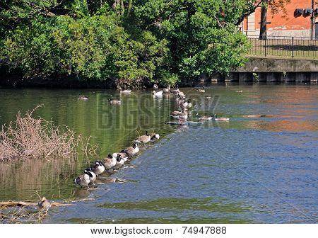 Canada Geese on weir, Derby.