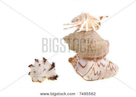 Sea Shel