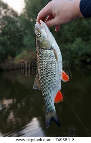 Chub in fisherman's hand against shore bush