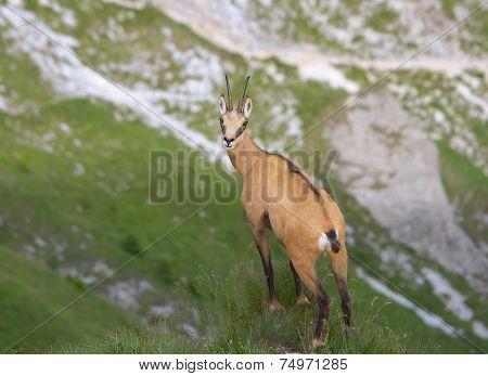Chamois ( Rupicapra rupicapra)