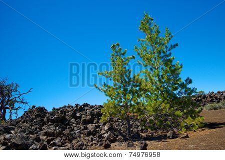 Pine Trees In Lava Field