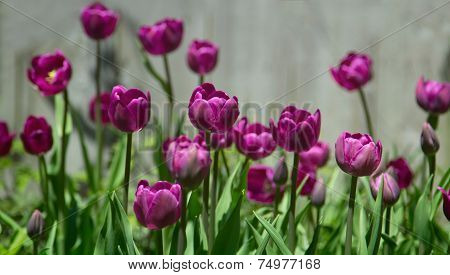 Toned image of row of pretty purple tulips