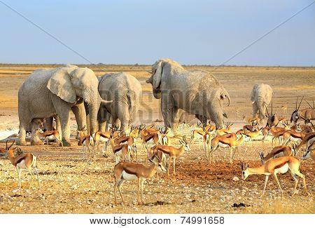 Elephants & Springbok in Etosha