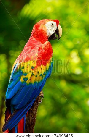 Portrait Of Colorful Scarlet Macaw Parrot