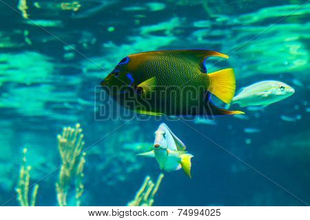 Colorful Queen Angelfish