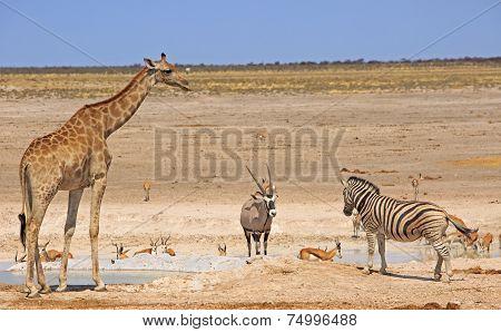 Giraffe, Oryx and Zebra in Etosha