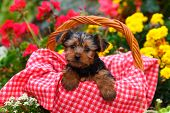 image of yorkshire terrier  - A fluffy little Yorkshire Terrier puppy sits in a basket with some colorful flowers behind him - JPG