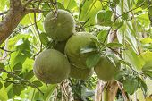 stock photo of pomelo  - Fresh green pomelo fruits on tree in garden - JPG