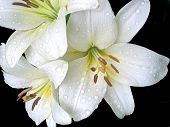 image of white lily  - White lilies on a black background isolated - JPG