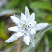 stock photo of edelweiss  - Edelweiss  - JPG