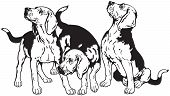 stock photo of foxhound  - three beagle hounds - JPG