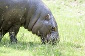picture of ox-pecker  - Hippo eating the grass close view portrait - JPG