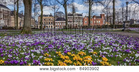 Panorama Of Colorful Crocuses At The Ossenmarkt In Groningen