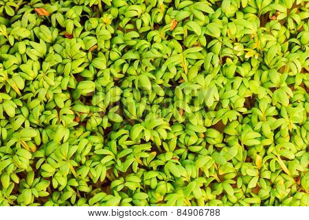 Close Up Of Garden Cress As Background