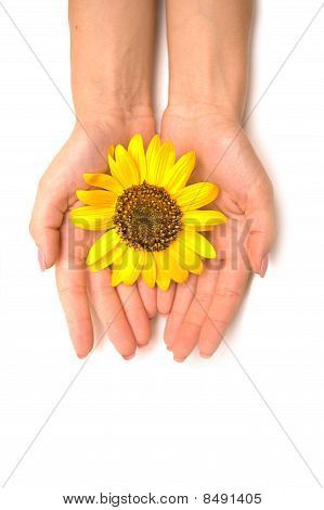 Sunflower  Like The Sun In Hands Isolated