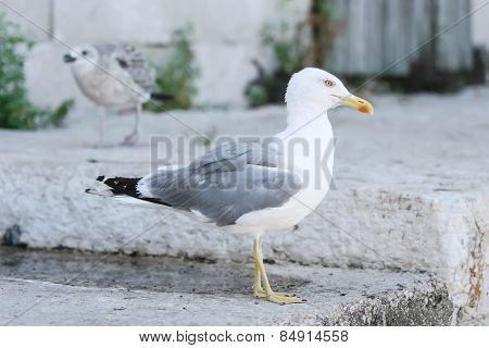 Seagull On Concrete