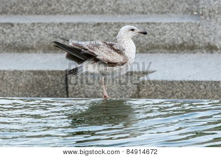 Seagull On Water Fountain