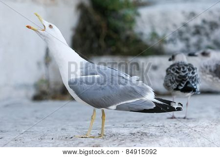 Seagull With Open Mouth