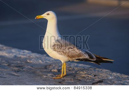 Side View Of Gull