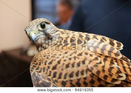 Lanner Falcon Looking At Camera