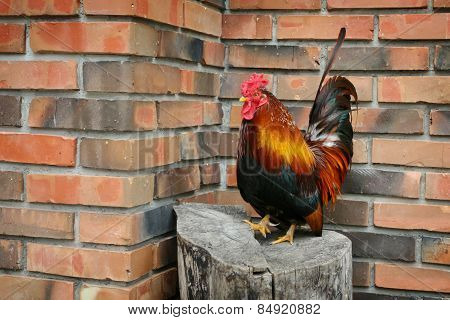 Rooster On Stump