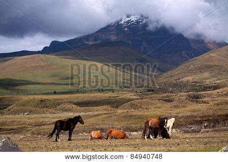 Beautiful horses in Cotopaxi volcano, one of the world's highest volcanoes