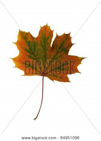 Colorful Autumn Maple Leaf. Isolated On White