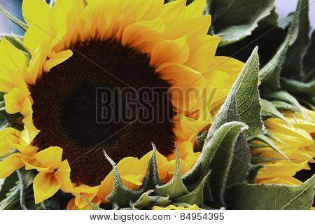 Close-up of a sunflower (Helianthus annuus), Republic of Ireland
