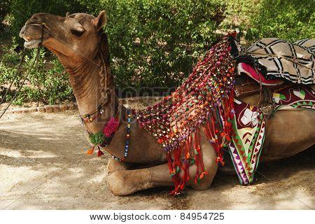 Camel in a park, New Delhi, India
