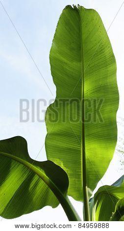 Bannanenblatt