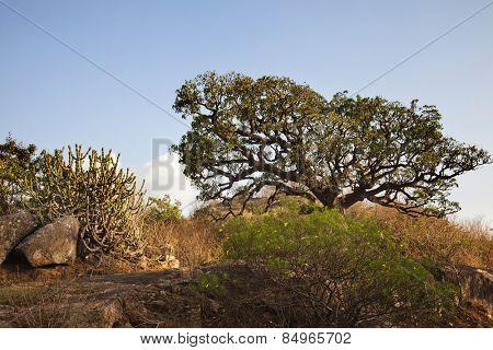 Trees at Guru Shikhar, Arbuda Mountains, Mount Abu, Sirohi District, Rajasthan, India