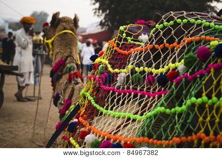 Close-up of a camel at Pushkar Camel Fair, Pushkar, Ajmer, Rajasthan, India
