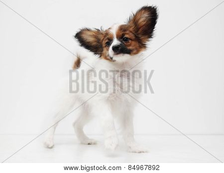 Dog Breed Papillon Standing