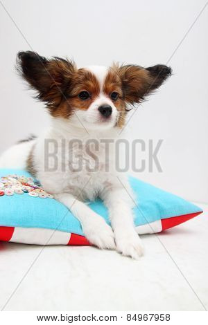 Papillon Lying On A Pillow