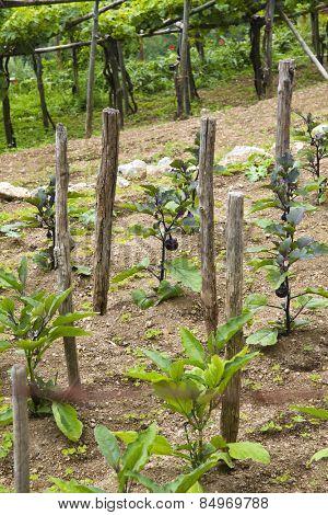 Vines in a vineyard, Ravello, Amalfi Coast, Salerno, Campania, Italy
