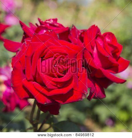 Close-up of Rose flowers, Ravello, Amalfi Coast, Salerno, Campania, Italy
