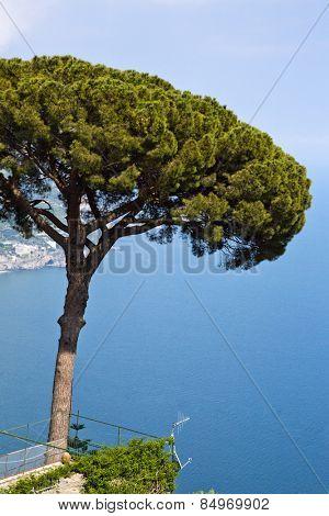 Tree at the coast, Ravello, Amalfi Coast, Salerno, Campania, Italy
