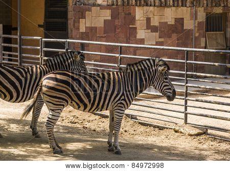 Chapman's zebras (Equus quagga chapmani) in a zoo, Barcelona Zoo, Barcelona, Catalonia, Spain
