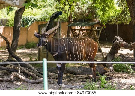 Bongo (Tragelaphus Eurycerus) in a zoo, Barcelona Zoo, Barcelona, Catalonia, Spain