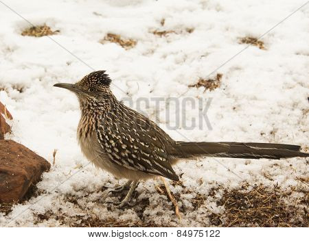 Geococcyx californianus, Greater roadrunner sitting in snow, alerted